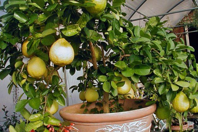 Гибрид лимона с помпельмусом Пондероза