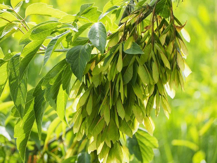 Клён ясенелистный. Цветение. Как ухаживать и где купить растение.
