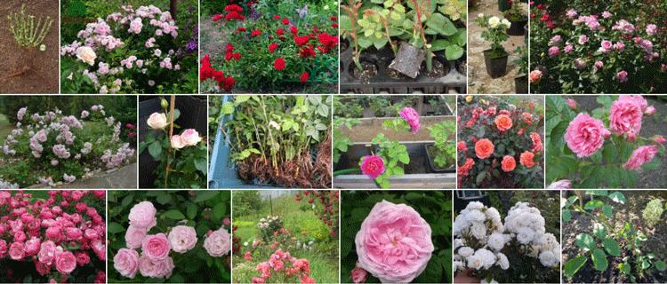 Корнесобственные розы