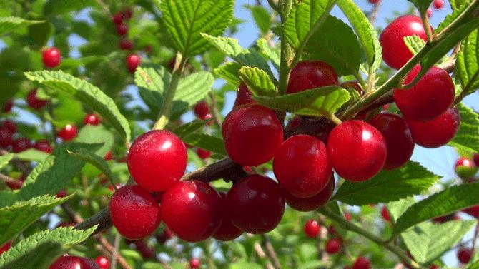 Красная войлочная вишня