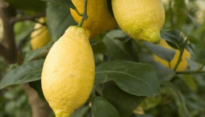 Лимон Лунарио - описание и уход