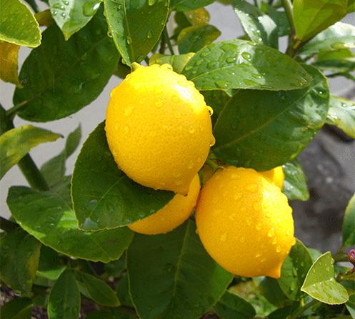 Лимон Мейера. Как выращивать - описание и уход
