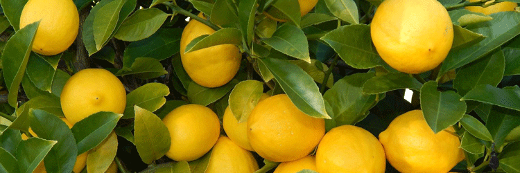 Корнесобственные лимоны. Описание вида и особенности