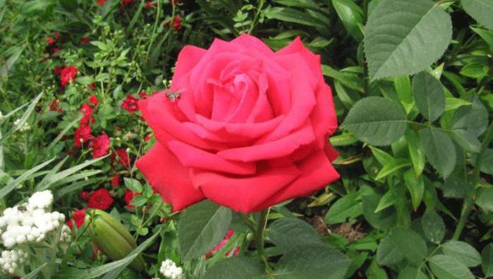Роза Арикота. Особенности и преимущества сорта