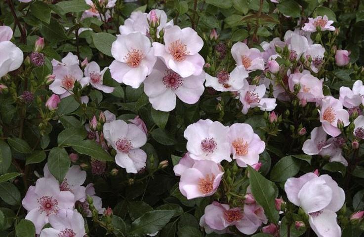 Роза Астрономия. Красивый и неприхотливый сорт