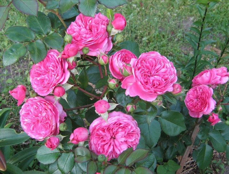 Роза Баронесса. Цветок, который не оставит вас безразличным к себе