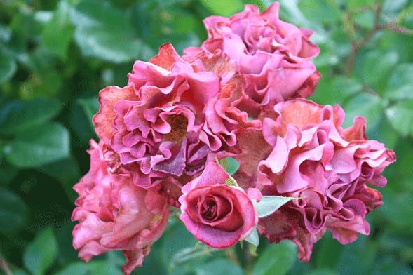 Роза Блаувестед