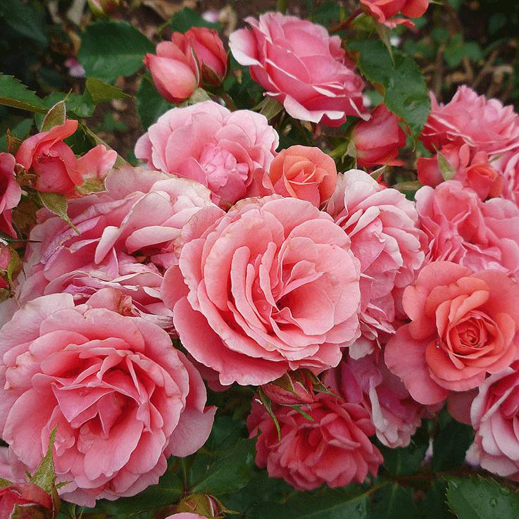 Роза Фри Спирит. Сорт который вам понравится