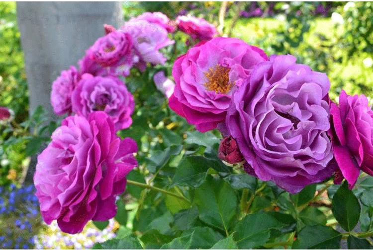 Роза Вайлд Блу Йондер. Описания и правила ухода
