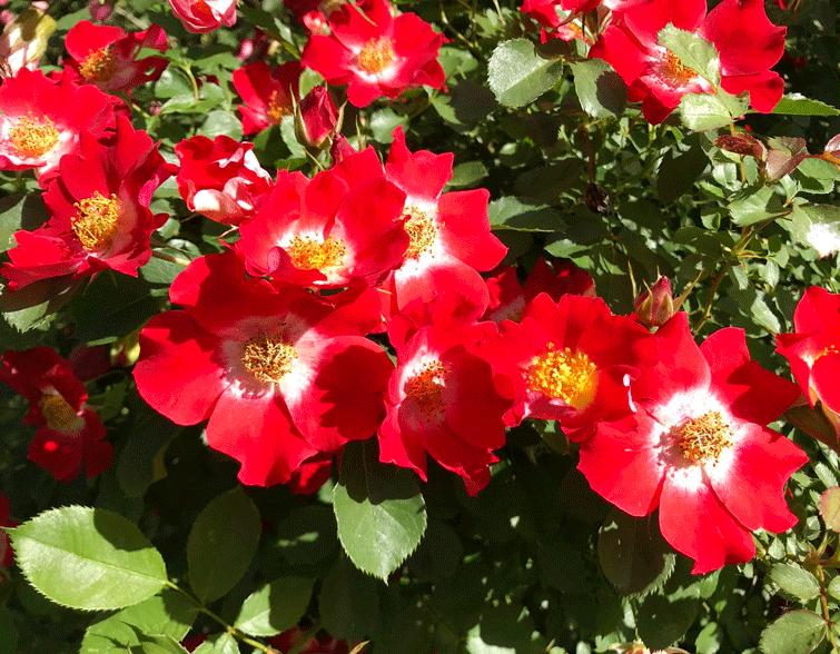 Розы Ай Пэйнт. Красивый сорт, который удивит своим цветением