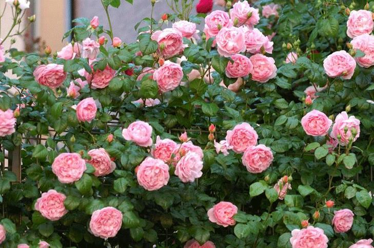 Розы Айсфогель. Как ухаживать за этим сортом роз