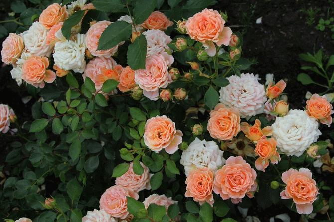 Розы акварель. Сорт который многие заказывают