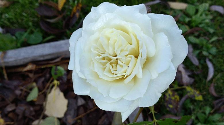 Розы Алабастер. Красивый сорт устойчивый к перепадам температур