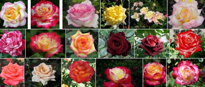 Розы чайно гибридные