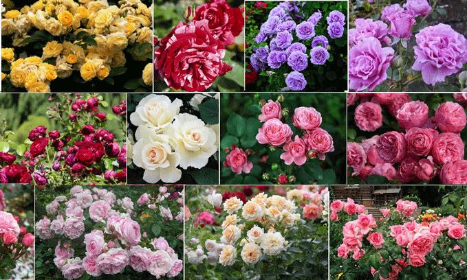 Розы флорибунда. Сорта, выращивание и уход