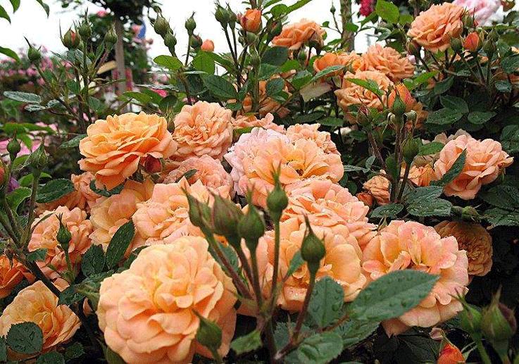 Розы Капри
