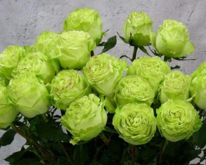 Розы Лимонад. Описание сорта и почему их так часто покупают