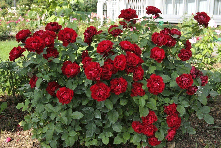 Розы Оммаж а Барбара