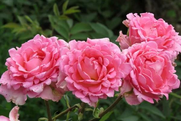 Розы Вайкики. Популярный сорт с необыкновенной красотой