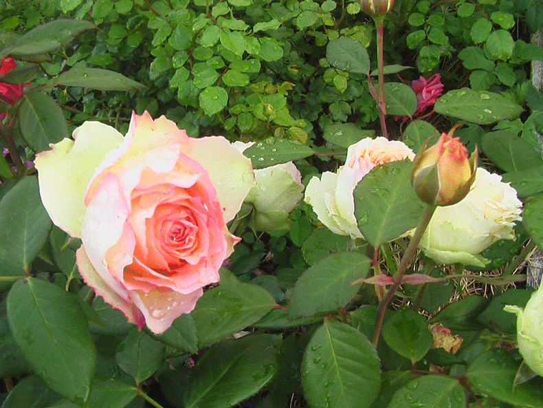 Розы Жалита. Описание и как купить этот сорт роз