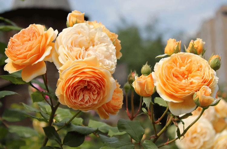 Английские розы сорта фото описание