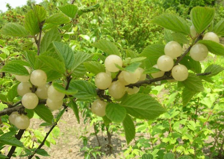 Белая войлочная вишня. Описание и особенности сорта