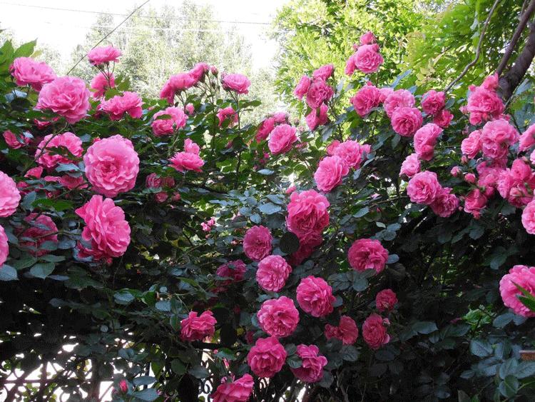 Парковые розы. Узнайте почему вам понравиться этот сорт