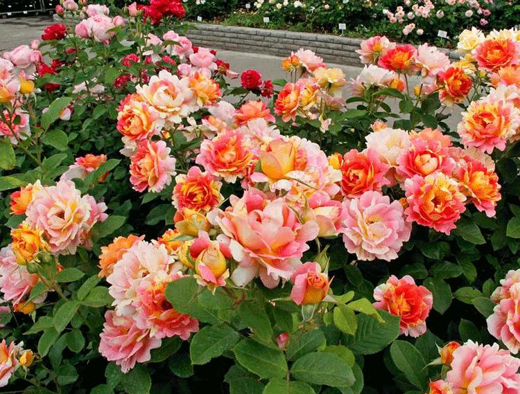 Роза Шраб. Чем же так примечателен данный сорт