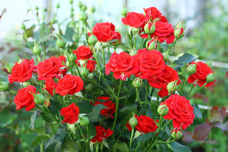Роза спрей. Почему многие влюбляются в этот сорт