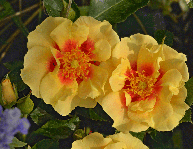 Розы Ай оф зе Тайгер