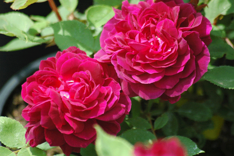 Старинные розы. Происхождение сорта, как ухаживать и выращивать