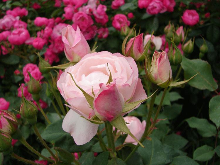 Японские розы. Чудесное растение для вашего сада
