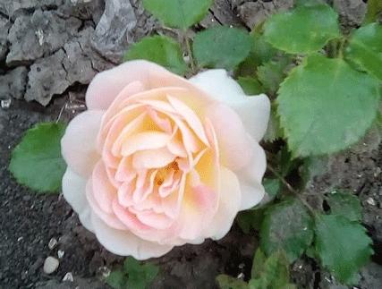 Отзывы по розам