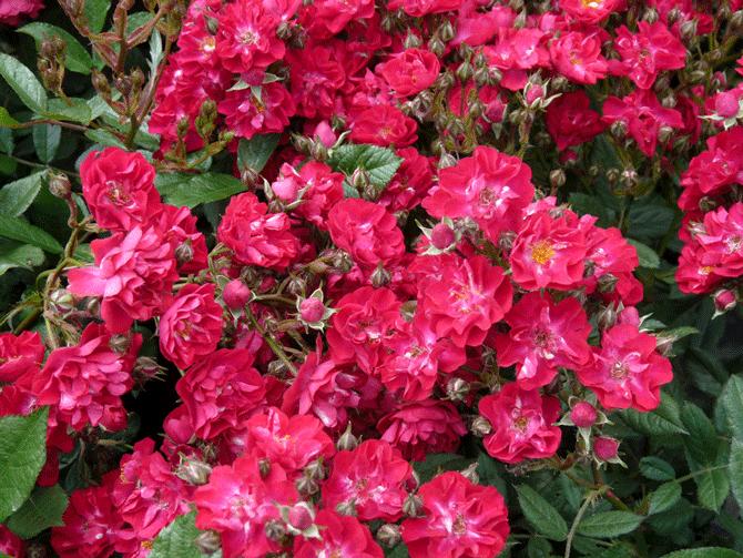 Роза Альберик
