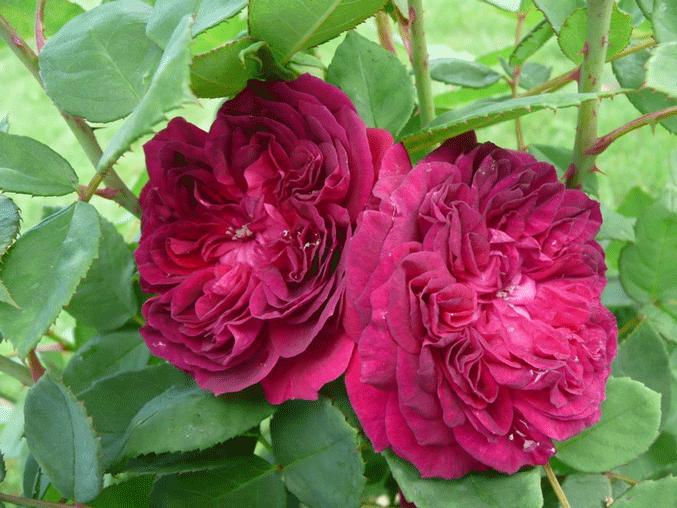 Роза Артур де Сансал. Настоящее украшение участка