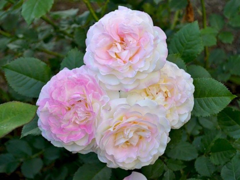 Роза Аврора. Почему их называют королевскими
