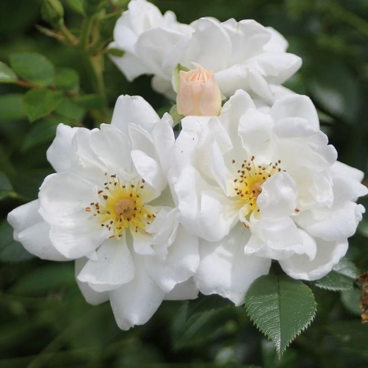Роза Биненвайде. Обладают отличной приживаемостью и прекрасным внешним видом