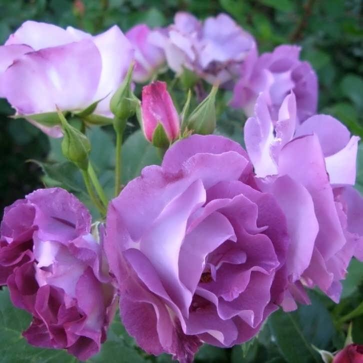 Роза Блу фо Ю