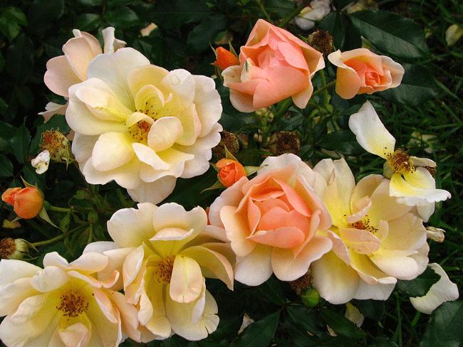 Роза Эмбер Сан. Почему этот сорт хорошо подходит для оформления загородного участка