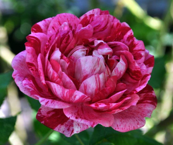 Роза Командан Баропер. Настоящее украшение загородного участка
