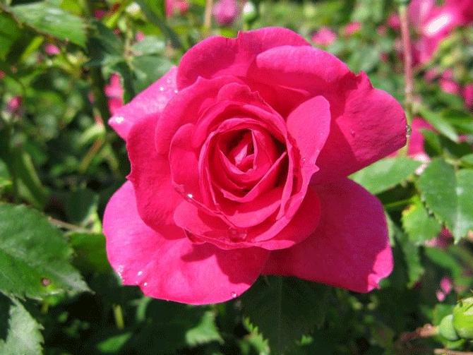 Роза Феликс Леклерк. Неприхотливый и красивый цветок