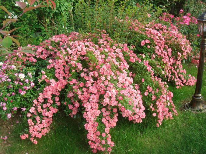 Роза Ферди Сузуки. Одна из самых обильно цветущих роз