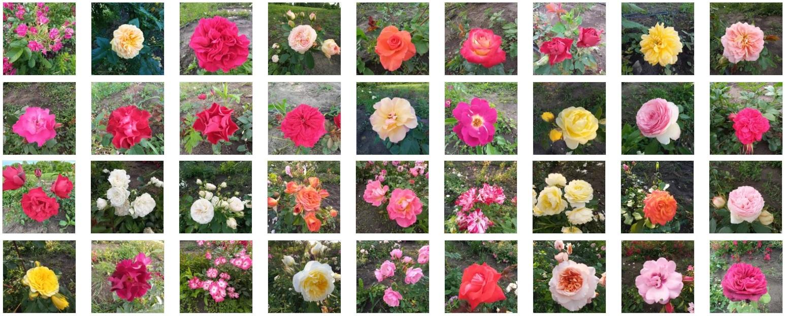 Купить саженцы, розы корнесобственные от 100 руб. Акция!