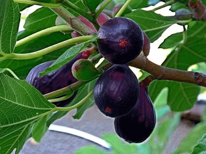 Инжир Черная Жемчужина