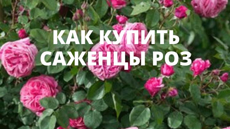 Купить саженцы роз