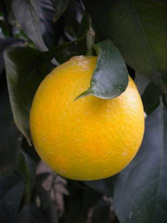 Лимон Ванильный