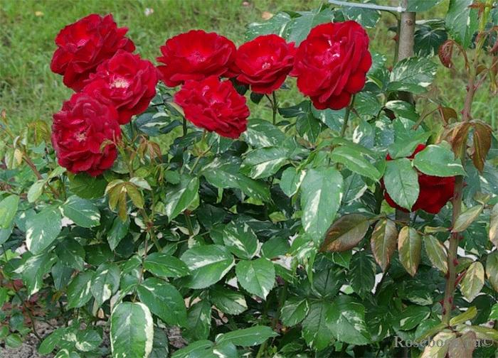 Роза Эль Семун