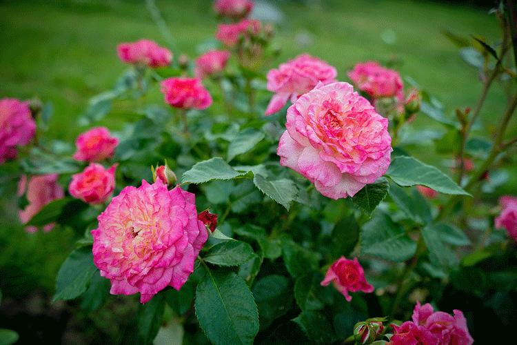 Роза Кантри Герл