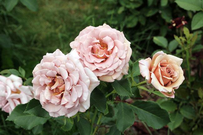 Роза Коко Локо
