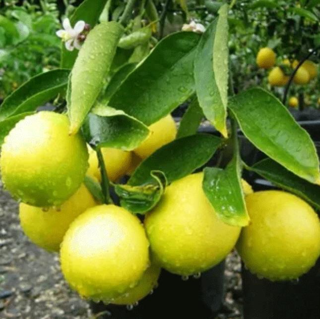 Саженцы лимона Аркалено